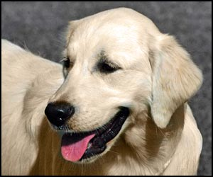 Golden Retriever Dog Grooming Instruction