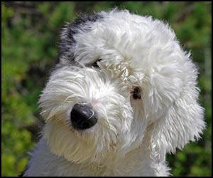 Dog Names for Male Old English Sheepdog Dog