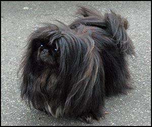 Dog Names For Male Pekingese